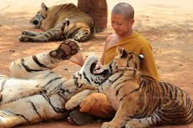 """86 Tigers Rescued from Thailand's """"Tiger Temple"""" Reported to Have Died"""