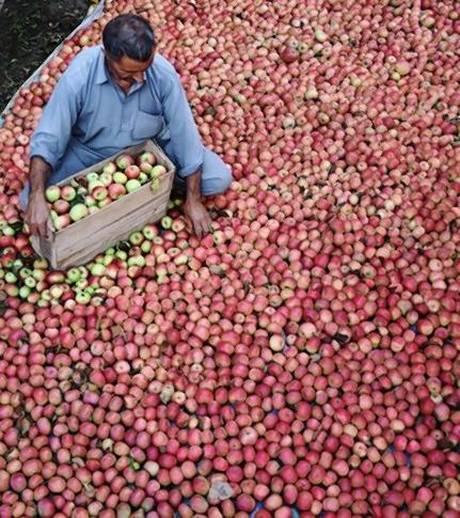 Bihar sells Kashmir apples through co-op. to help traders.